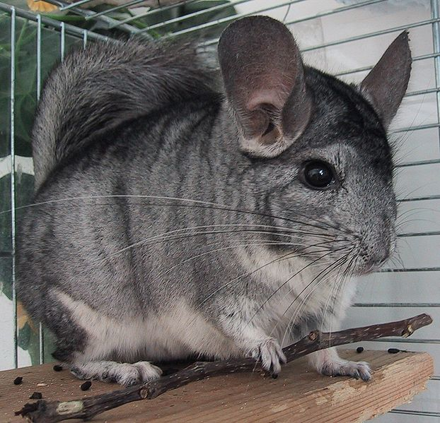 6 Facts of Chinchilla to Keep as Pet Hamster