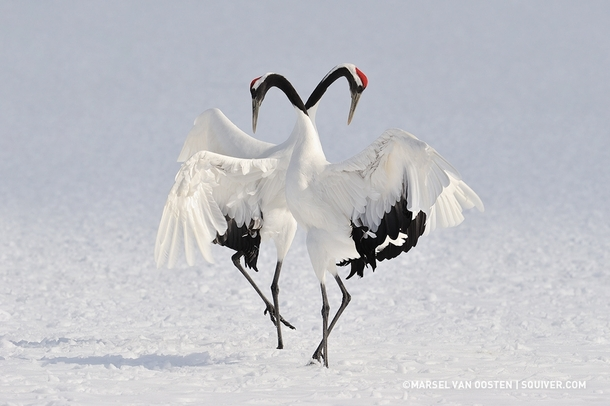 5 Myths About Crane Birds Which Are Adopted From Their Habits