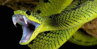 2 Things To Observe When Differentiating a Venemous Snake