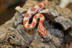 10 Reasons Why a Corn Snake is the Perfect Pet for You