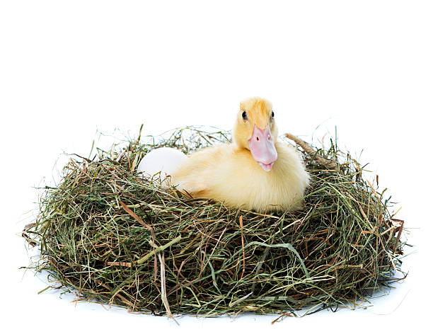Where do Ducks Build Their Nest? Here's What You Need to Know