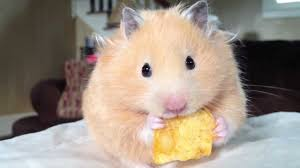 Enjoyable Hamsters Treats in Their Meal Time