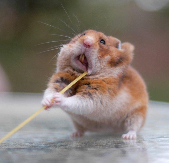4 Best Things To Prepare For Hamster Diet