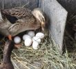 Common Mistakes in Preparing Duck Laying Process
