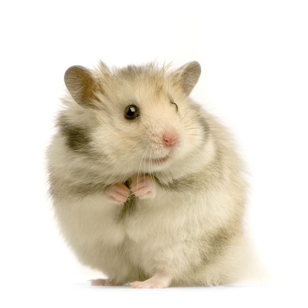 6 Things That You Should pay attention in Hamster Life