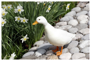 7 Duck Breeds Which Are Suitable to Keep as The Pet