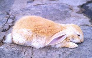 2 Deadly Illnesses That Can Kill Rabbits In A Day