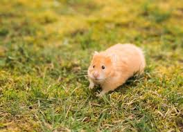 Are There Wild Hamster? 4 Facts of Hamster Habitat in The Wild