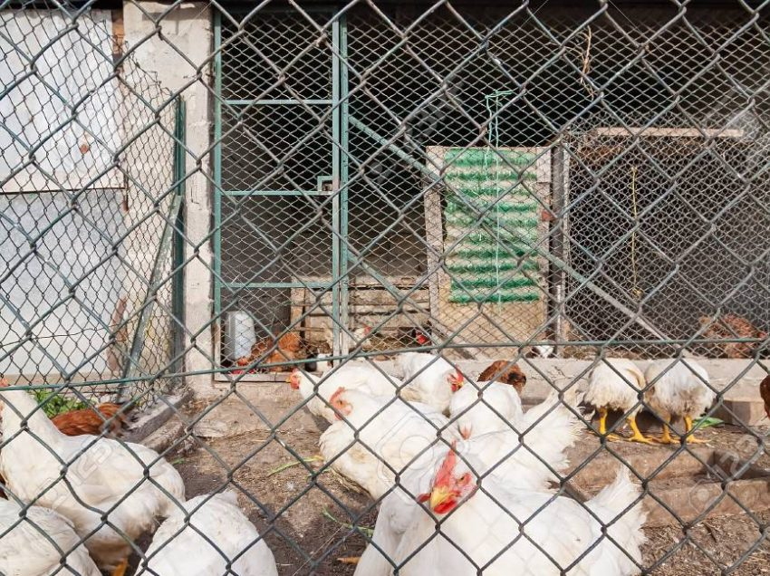 How To Build Your Own Chicken Cages For Your Farm