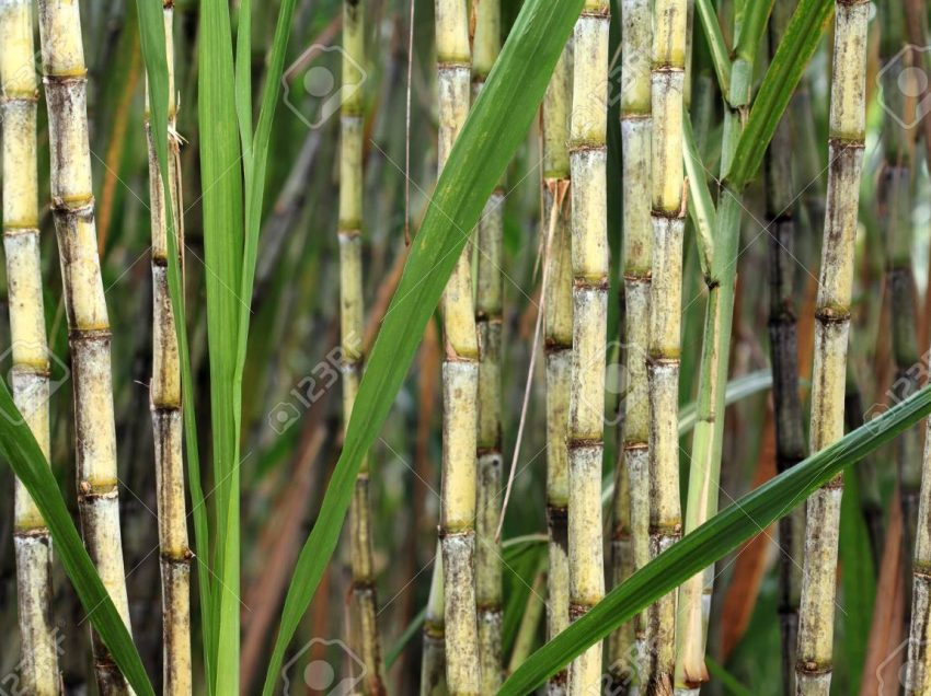 The Benefits of Cane in Breeding Animals