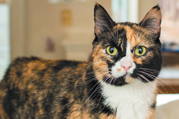 3 Ways to Cross Color Breed Cats that Might Worked