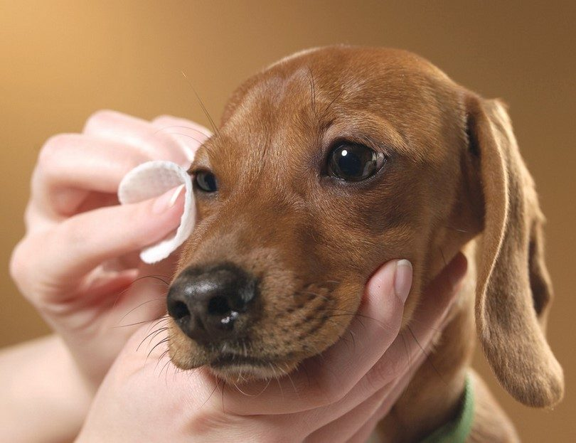 6 Ways on How to Handle an Eye Infection on Dogs