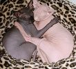 6 Naked Facts About Sphynx as Hairless Cat