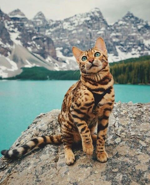 The Effect of Cat's Cross-breeding for Their Psychology