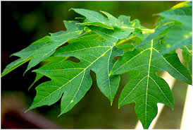 The Benefits of Papaya Leaves in Breeding Catfishes