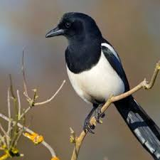 7 Ways To Encourage Magpie Vocalisation