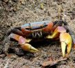 How To Profit From Breeding Mangrove Crabs