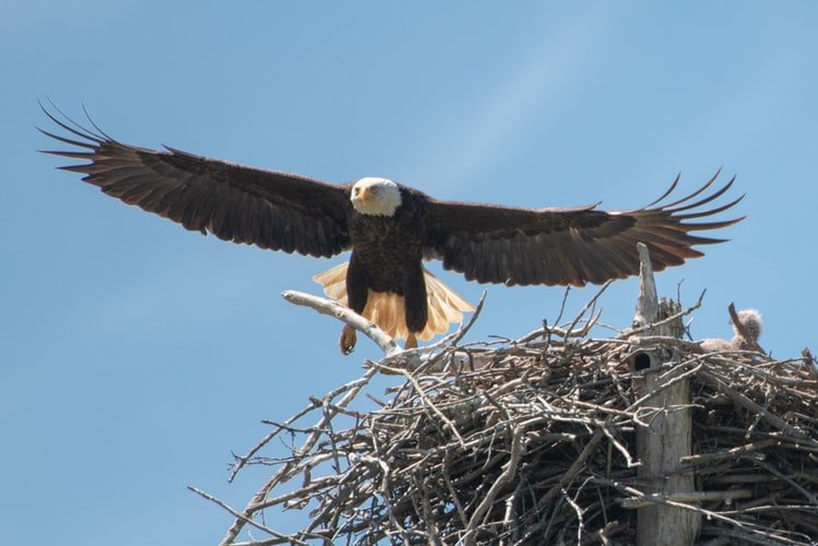 Does Eagle Have Nesting Habit?