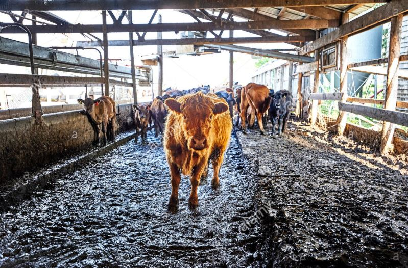 10 Types of Sickness for Cow during Rainy Season