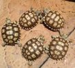 What Makes Sulcata Turtoise is Being an Expensive Turtoise
