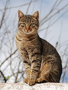 4 things you must know About Cross Breeding Tabby Cat to Other Cats