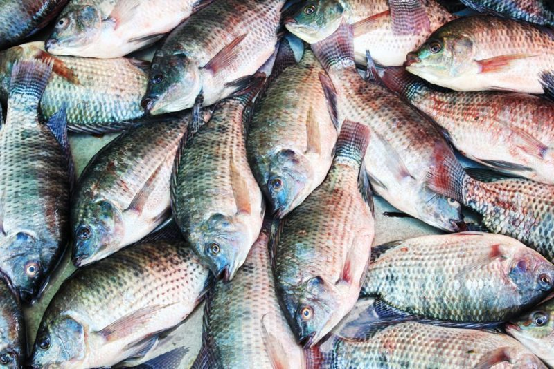 The Benefits of Breeding Commercial Fishes For Business