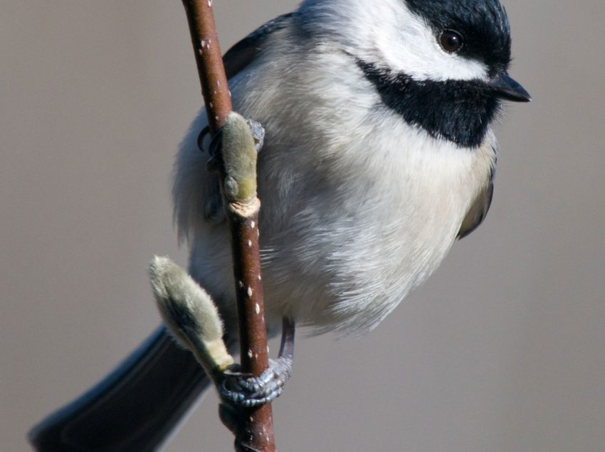 8 Things That You Need to Know About Chickadee