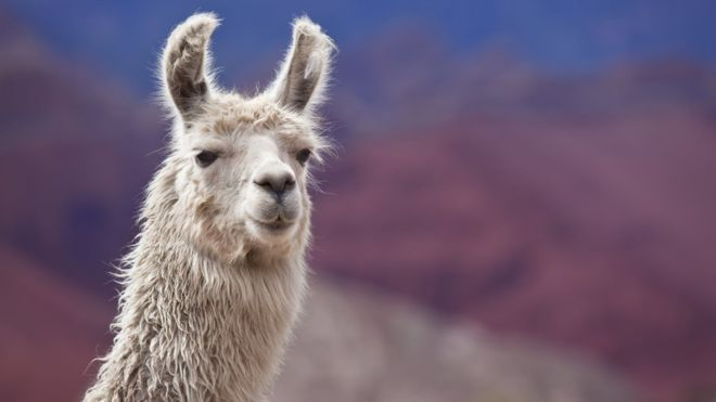 Llama Spit on Your Face? Reasons and How to Avoid it
