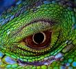 My Iguana have Eyes Problems! Stay Calm, Learn the Problems and Treatment