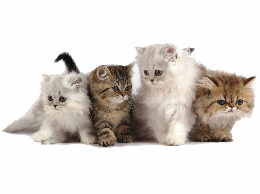 7 Causes of Kitten to Meow Constantly