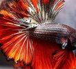 Maximizes your Betta Fish Diet by Giving them these 2 Foods