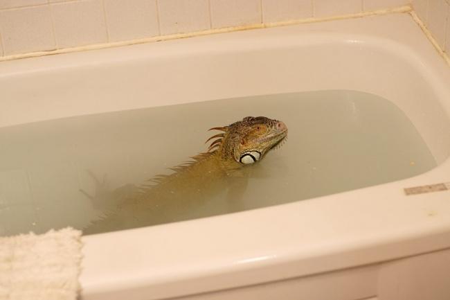 Best Ways to Bath an Iguana, If Properly Done, They may Swim too!