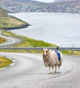Google Street View Out Of Sheep! Only In Faroe Islands