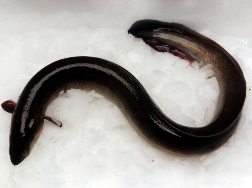 8 Ways on How to Differentiate Male and Female Eel