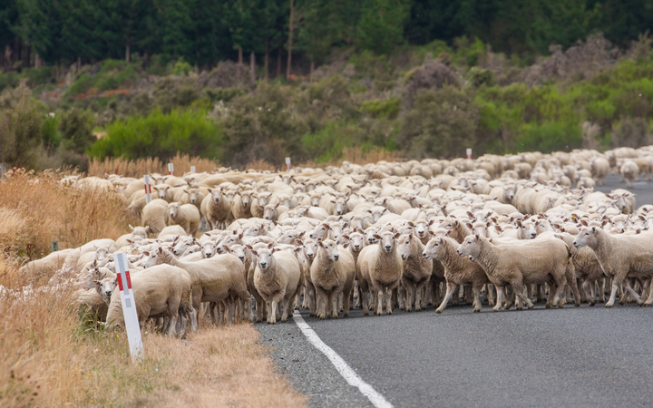 3 Facts About Sheep New Zealand Version, Seems To Dominate Humans