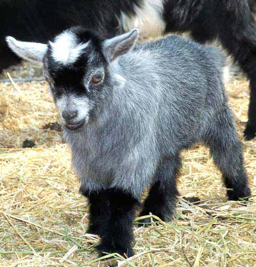 Wants A Goat As Pet But Not For The Size? Here Are 3 Small Goat Breeds To Consider