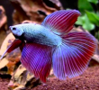 6 Nutritional Food to Feed Your Betta Fishes