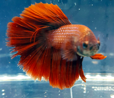 8 Ways to Healthily Feed Your Betta Fishes