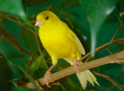 Basic Ways To Find Out A Canary's Age