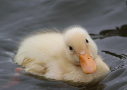 How to Prevent Ducks from Catching Snot