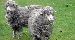 Psychology Of Sheeps: How They Behave?