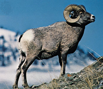 4 Places Where You May See A Rare Kind Of Sheep, The Bighorns