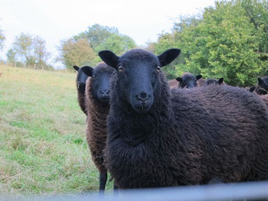 Black Welsh Mountain Sheep And What So Special About It