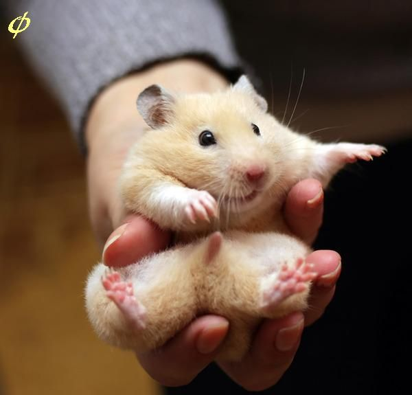 7 Ways To Differentiate Male and Female Hamsters