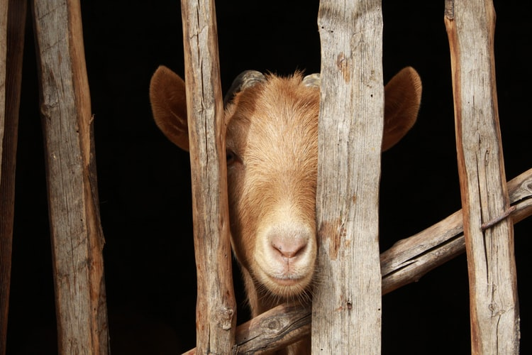 Fences For Your Sheep And Goats: What, How, Why?
