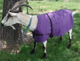 Do You Know Goats Wear Blanket? Find Out The Importance