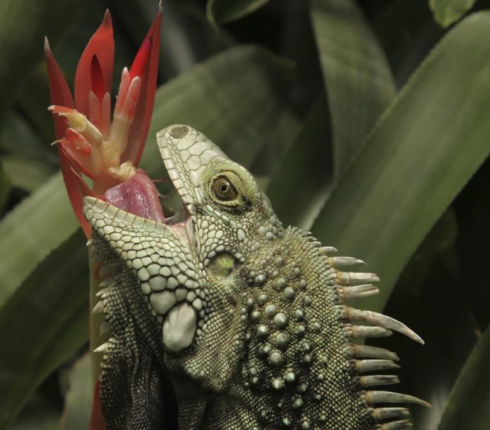 Is it True that Iguanas Eat Meat? Learn about this Herbivorous Reptile
