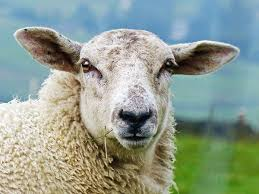 The Vision Of A Livestock: How Sheep Eyes Work