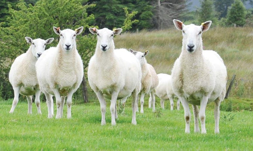 Farming Your Sheep In Free Range Method: The Benefit Of Sustainability