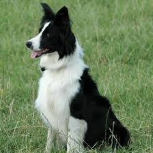 3 Tips For Training Sheepdogs: Your Sheep Farming Assistant